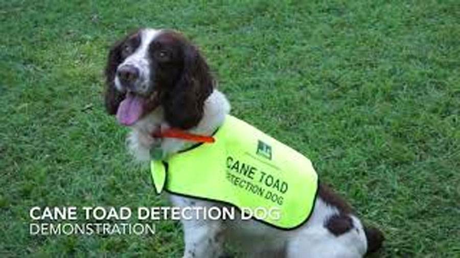 cane-toad-detection-dog